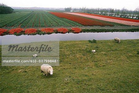 Pays-Bas, Hollande-méridionale, Keukenhof, champs de jonquilles et tulipes