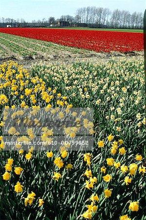 Hollande du Sud, champ de tulipes et de narcisses