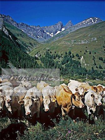 Troupeau de France, Alpes, des vaches nosy