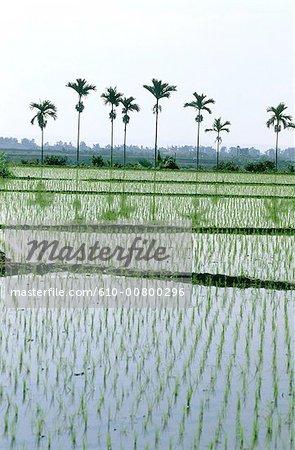 China, Taiwan, Taitung, paddy fields