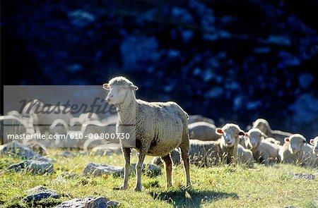France, Alpes, troupeau de moutons