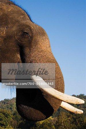 Portrait of Indian Elephant, Bandhavgarh National Park, Madhya Pradesh, India