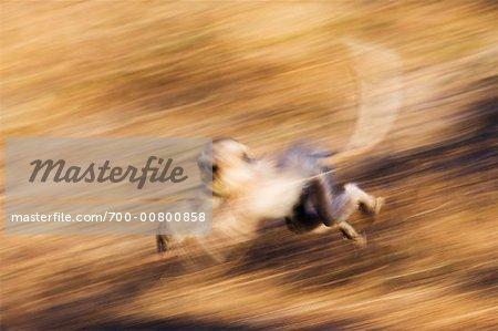 Langur Monkey Running