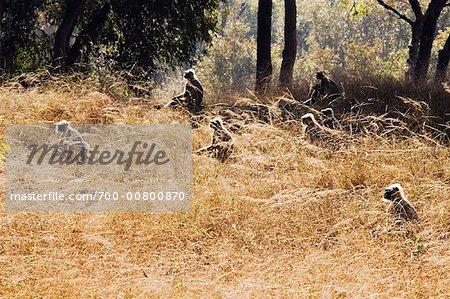 Langur Monkeys, Bandhavgarh National Park, Madhya Pradesh, India