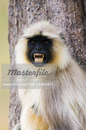 Langur Monkey, Bandhavgarh National Park, Madhya Pradesh, India