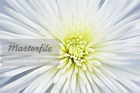 Gros plan du chrysanthème