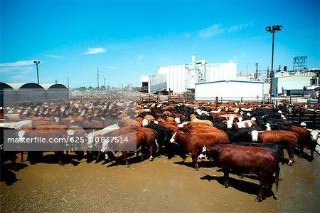 Boeuf de Monfort, usine de conditionnement de viande avec la plante dans le fond, Greeley, Colorado