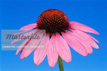 Fleur d'Echinacea