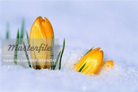 Crocus couverte de neige