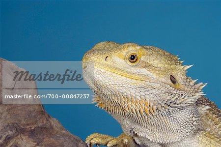 Portrait du Dragon barbu