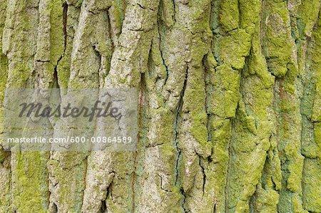 Écorce de chêne