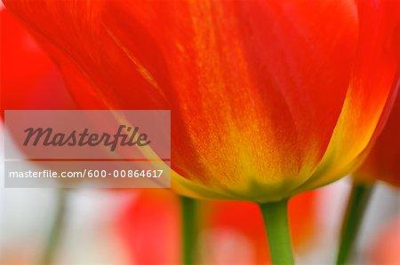 Gros plan de tulipe