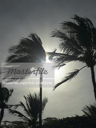 Palmiers dans le vent, Maui, Hawaii, USA