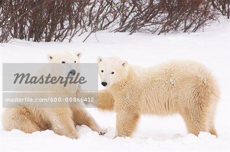 Eisbären spielen, Churchill, Manitoba, Kanada