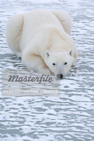 Eisbär auf dem Eis, Churchill, Manitoba, Kanada