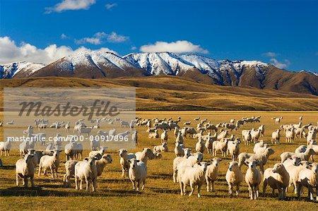 Sheep and Hawkdun Range, Ranfurly, South Island, New Zealand