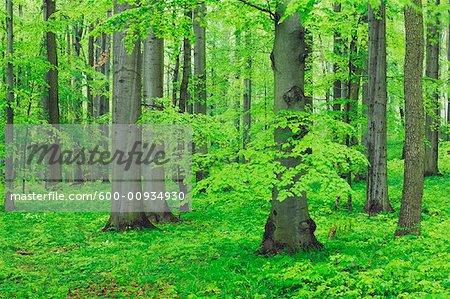 Buche Baum Wald, Nationalpark Hainich, Thüringen, Deutschland