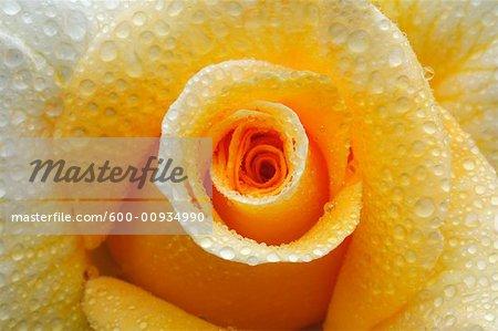 Gros plan d'une Rose jaune