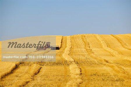 Récolte de blé, Assiniboia, Saskatchewan, Canada