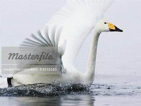 Cygne d'atterrissage dans l'eau