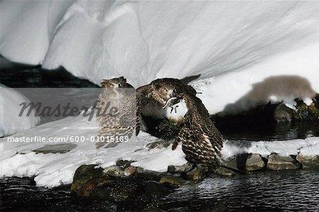 Blakiston's Fish Owls, Rausu, Hokkaido, Japan