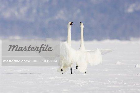 Whooper Swans at Lake Kussharo, Hokkaido, Japan