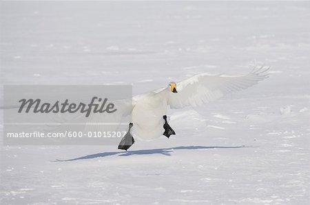 Cygne atterrit sur lac Kussharo, Hokkaido, Japon