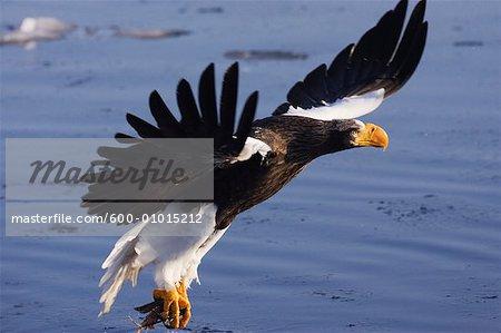 Steller's Sea Eagle Hunting, Nemuro Channel, Rausu, Hokkaido, Japan