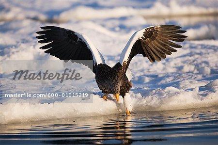 Sea Eagle, canal de Nemuro, Rausu, Hokkaido, Japon de Steller