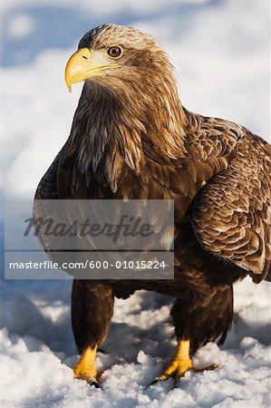White-tailed Eagle, Shiretoko Peninsula, Rausu, Hokkaido, Japan