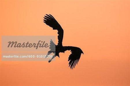 Silhouette of White-tailed Eagle, Nemuro Channel, Rausu, Hokkaido, Japan