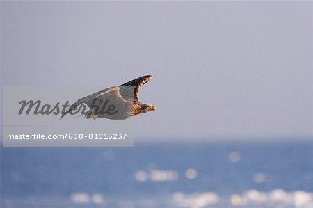 White-tailed Eagle, Nemuro Channel, Rausu, Hokkaido, Japan