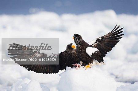 Aigles Pygargue de Steller, péninsule de Shiretoko, Hokkaido, Japon