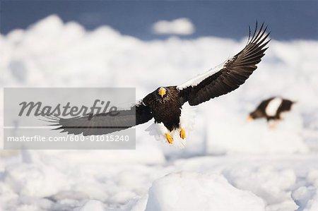 Steller's Sea Eagles, Shiretoko Peninsula, Hokkaido, Japan