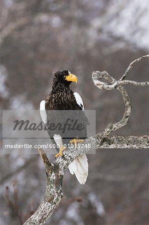 Steller's Sea Eagle, Shiretoko Peninsula, Hokkaido, Japan