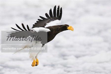 Steller's Sea Eagle in Flight, Shiretoko Peninsula, Hokkaido, Japan