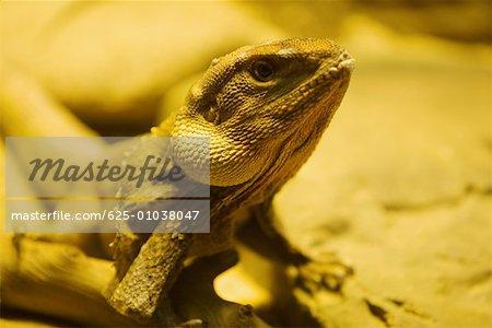 Close-up of a chameleon (Chamaeloninae)