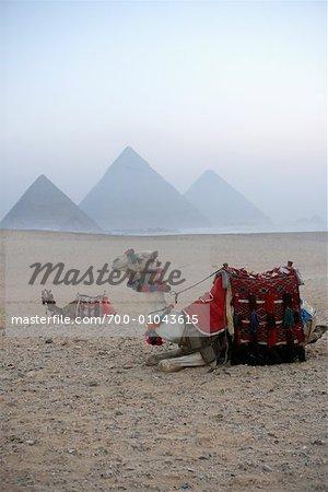 Chameaux dans le désert, les pyramides de Giza, Giza, Égypte