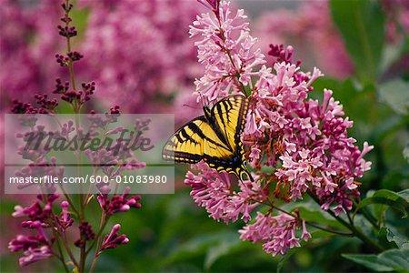 Machaon papillon sur fleur de lila