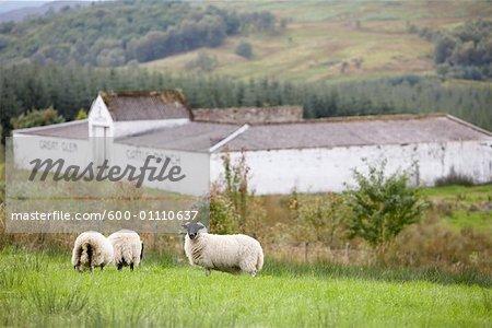 Moutons dans les pâturages, Écosse