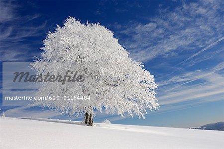 Enneigé Beech Tree, forêt noire, Bade-Wurtemberg, Allemagne