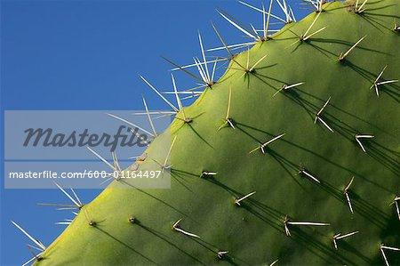 Gros plan de Prickly Pear Cactus