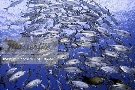 Trevally Jack School, Pacific Ocean, Polynesia