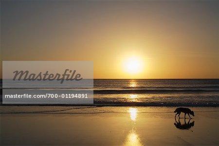 Chien marche sur la plage, Costa Rica