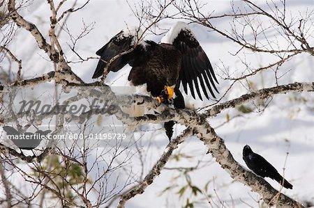Steller's Sea Eagle, Hokkaido, Japan