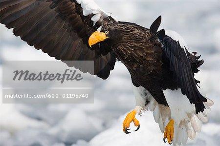 Steller's Sea Eagle on Ice Floe, Nemuro Channel, Hokkaido, Japan