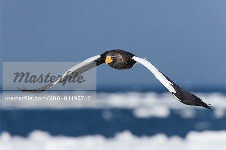Steller's Sea Eagle in Flight, Nemuro Channel, Hokkaido, Japan