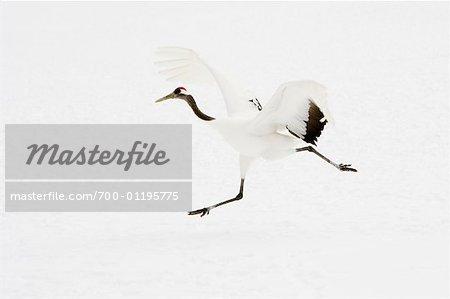 Red Crowned Crane, Tsurui, Hokkaido, Japan