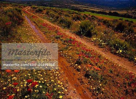 Fleurs sur route de campagne, Parc National de Namaqualand, Northern Cape, Afrique du Sud