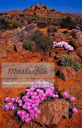 Fleurs sauvages près Hoek, Namaqualand, Northern Cape, Afrique du sud de Paul